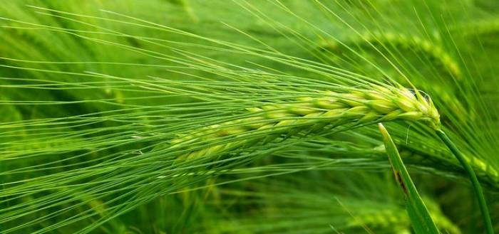 zielony jęczmień