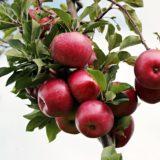 Jabłko wartości odżywcze